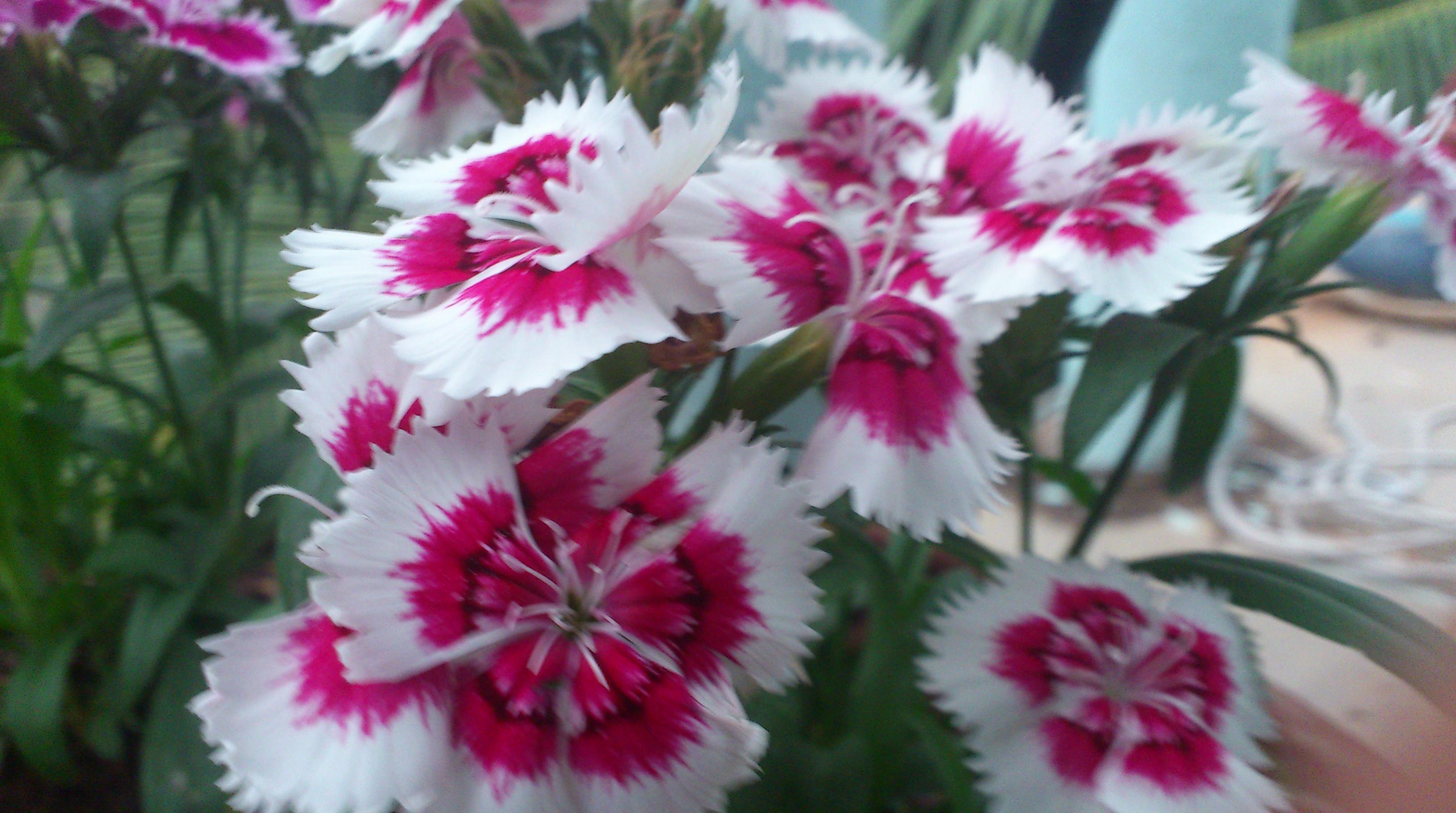 Dianthus Flower Crazy Gardner