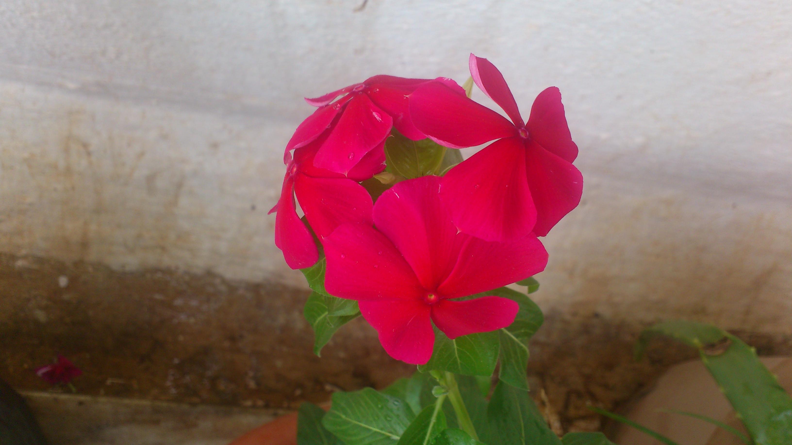 Periwinkle aka Sadhabahar aka Vinca | seedgerminator