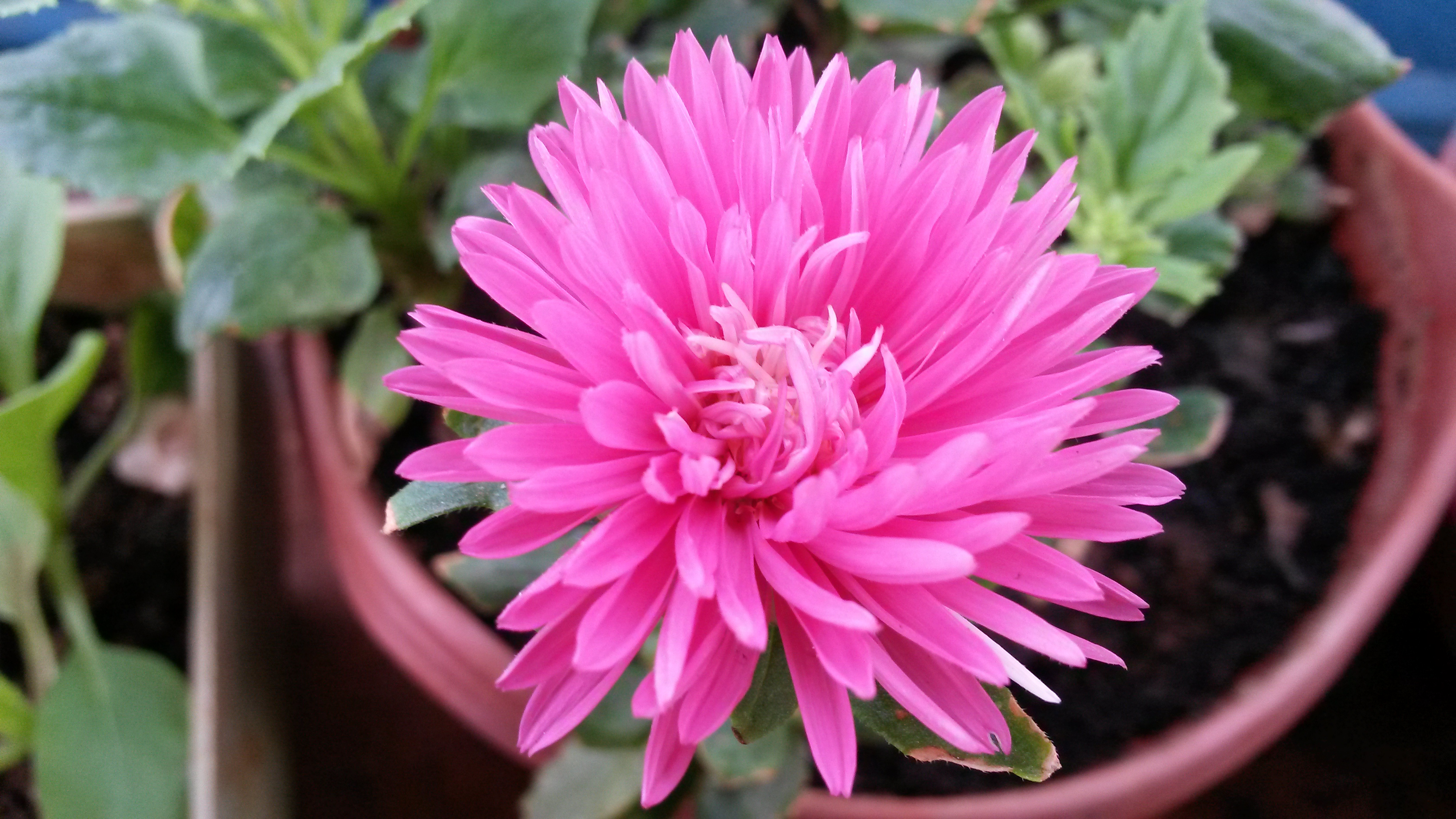 aster flower information in hindi  flower, Beautiful flower