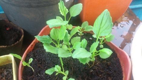 Aster Plant Seedlings