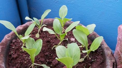 Bok Choy Seedlings