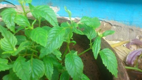Torenia Seedlings