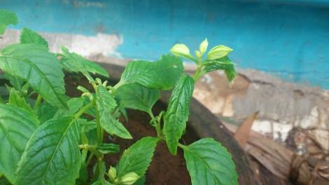 Torenia with new buds