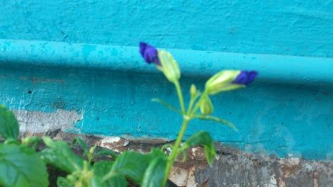 Torenia buds opening
