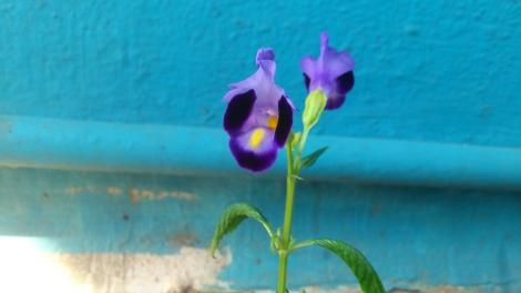 Torenia flowers